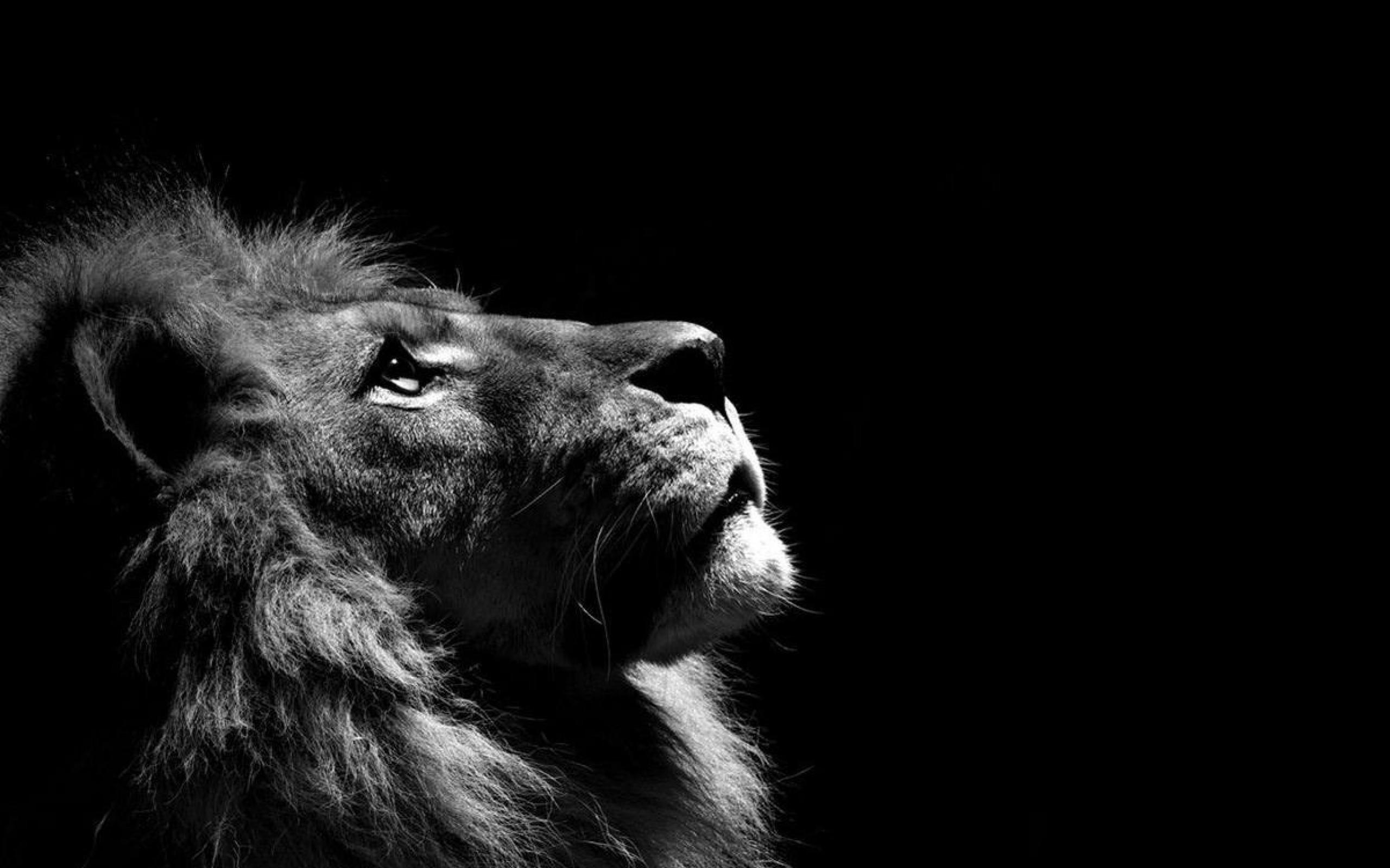 Lion Wallpaper 11