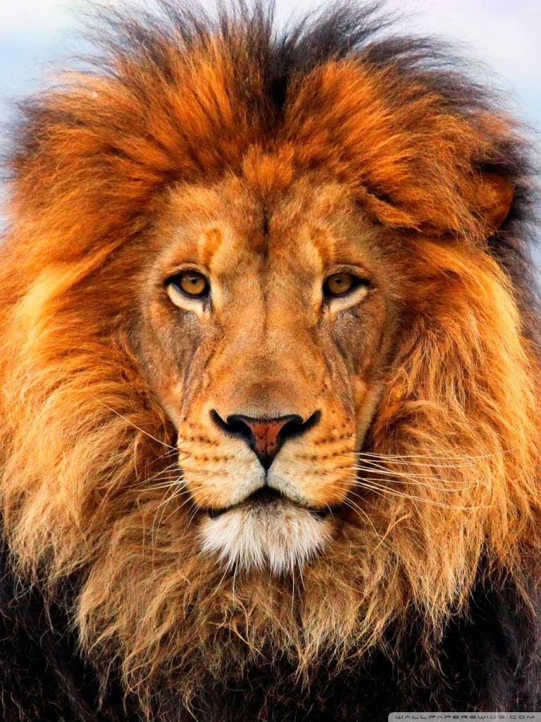 Lion Wallpaper 10