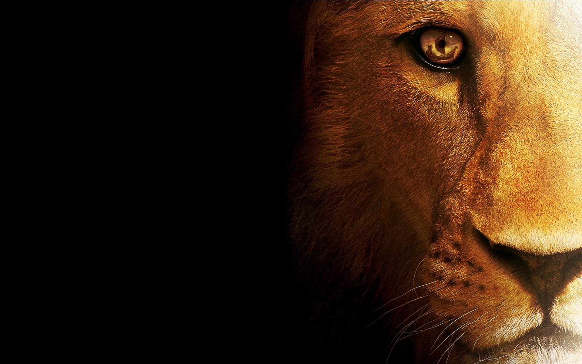 Lion Wallpaper 6