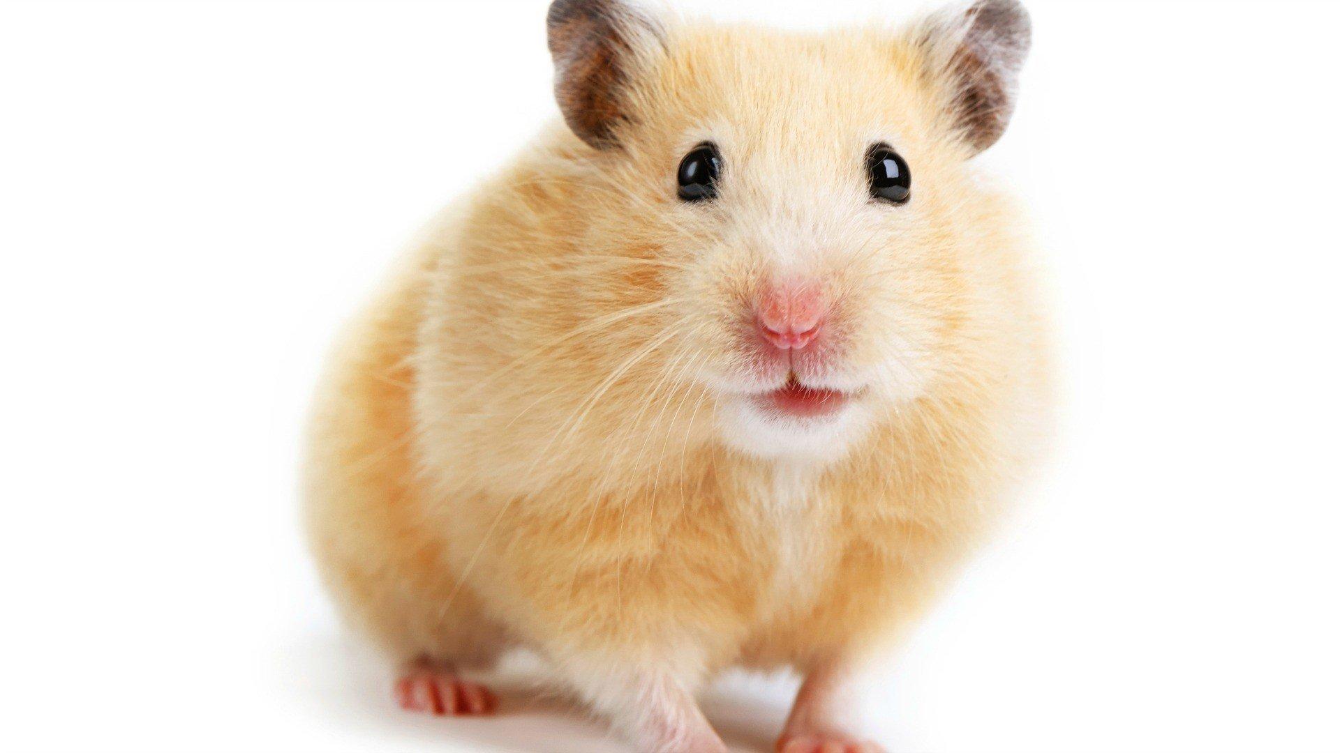 Hamster X Free