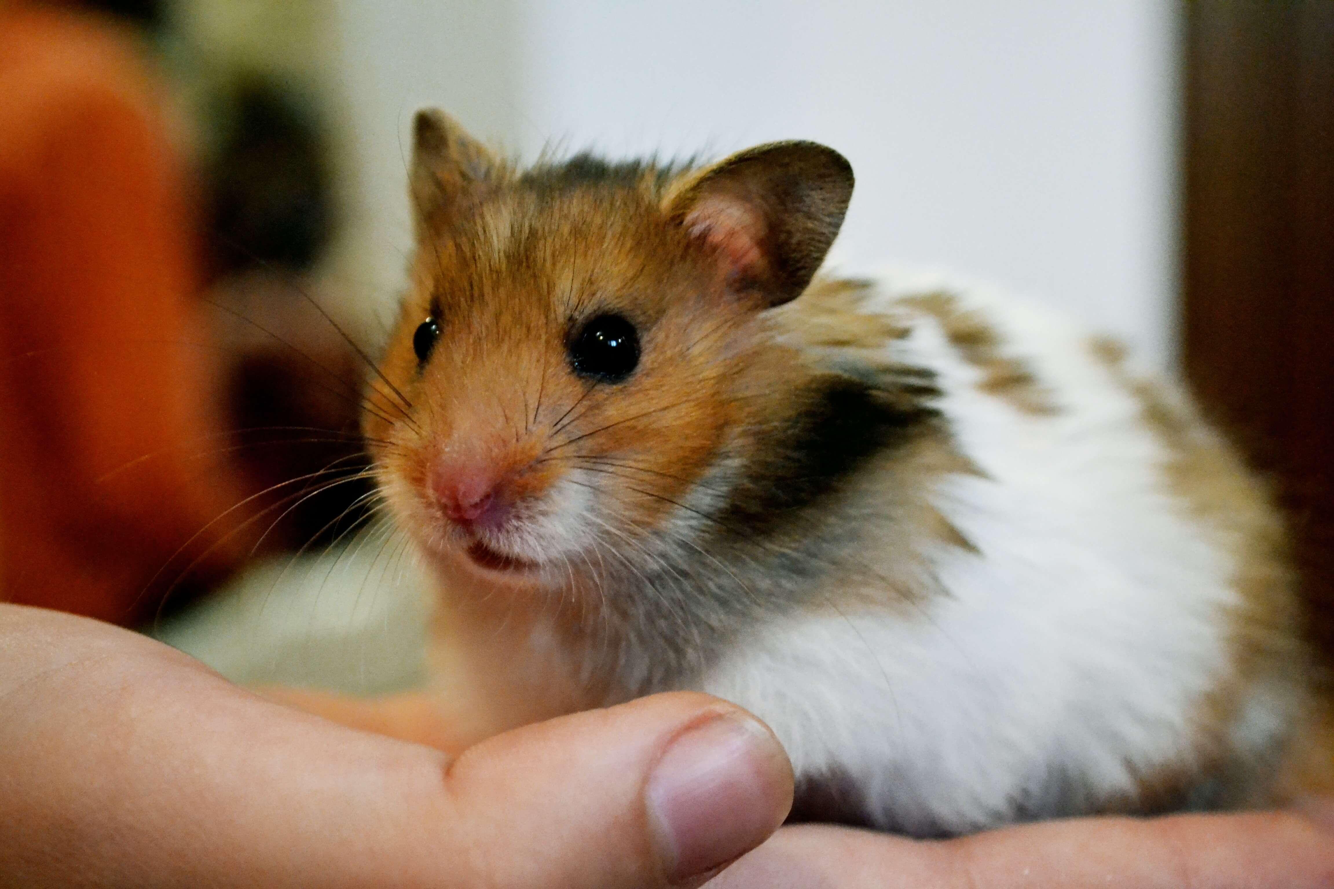 Hamster..Com