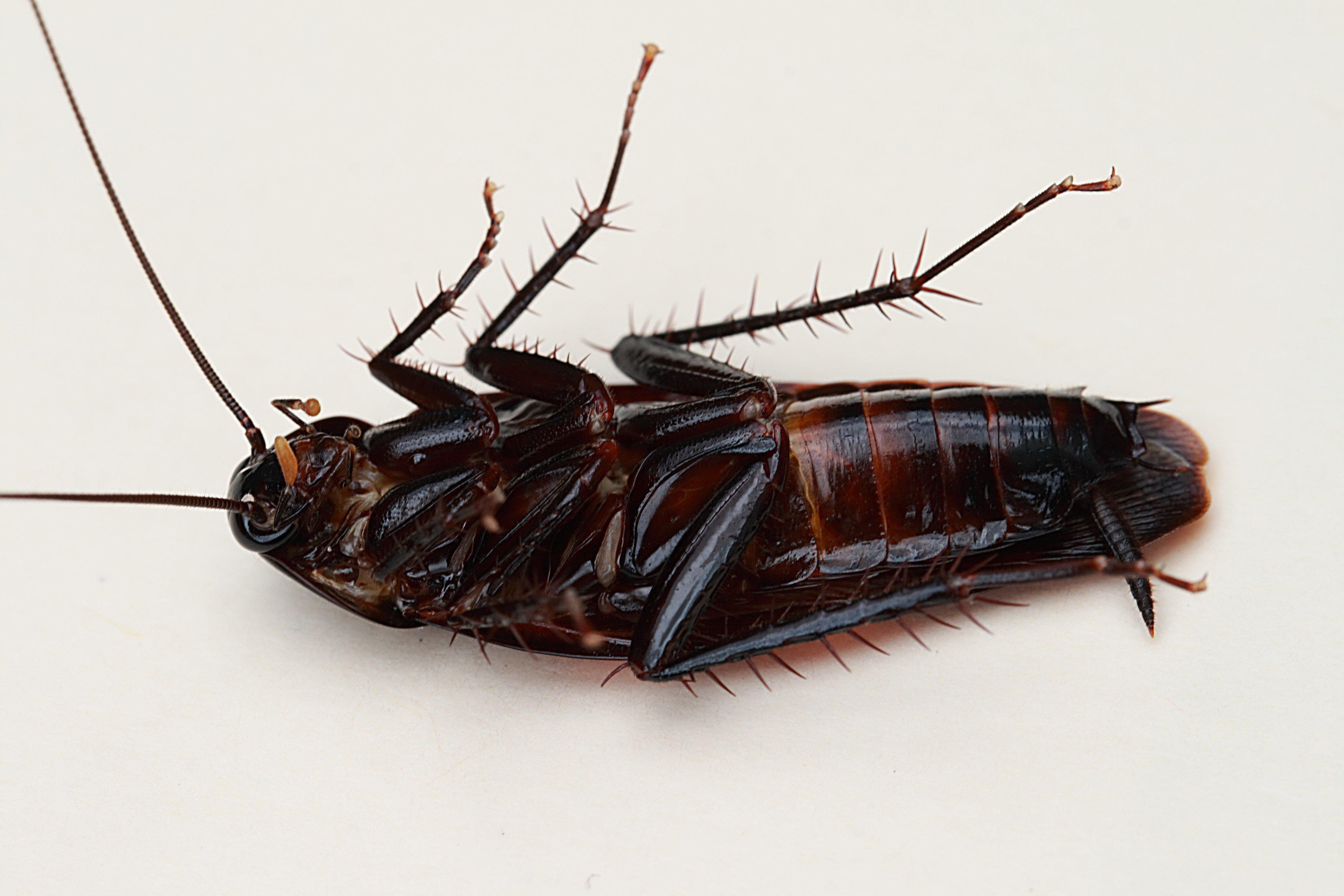 Cockroach HD