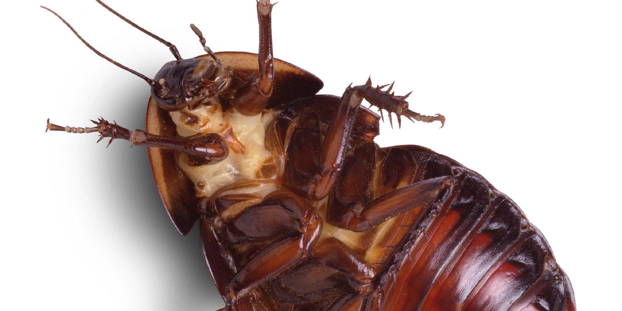 Cockroach Pics