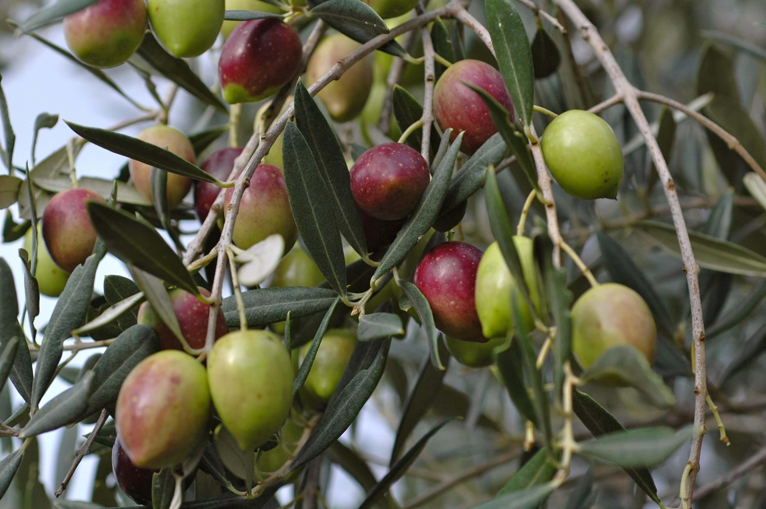 Olives Pics