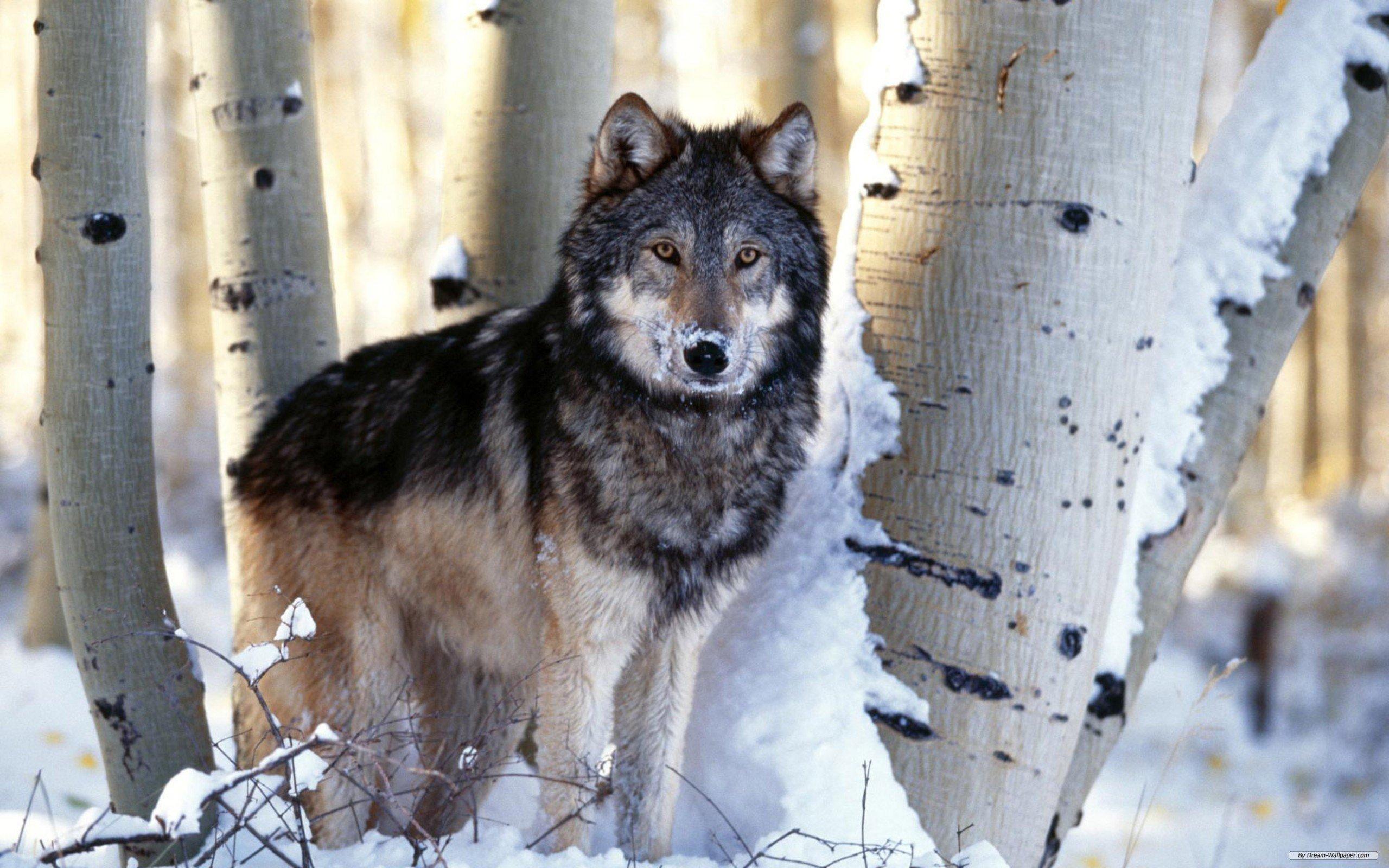 Wolf Free Photos