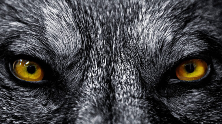 Wolf Wallpapers 4