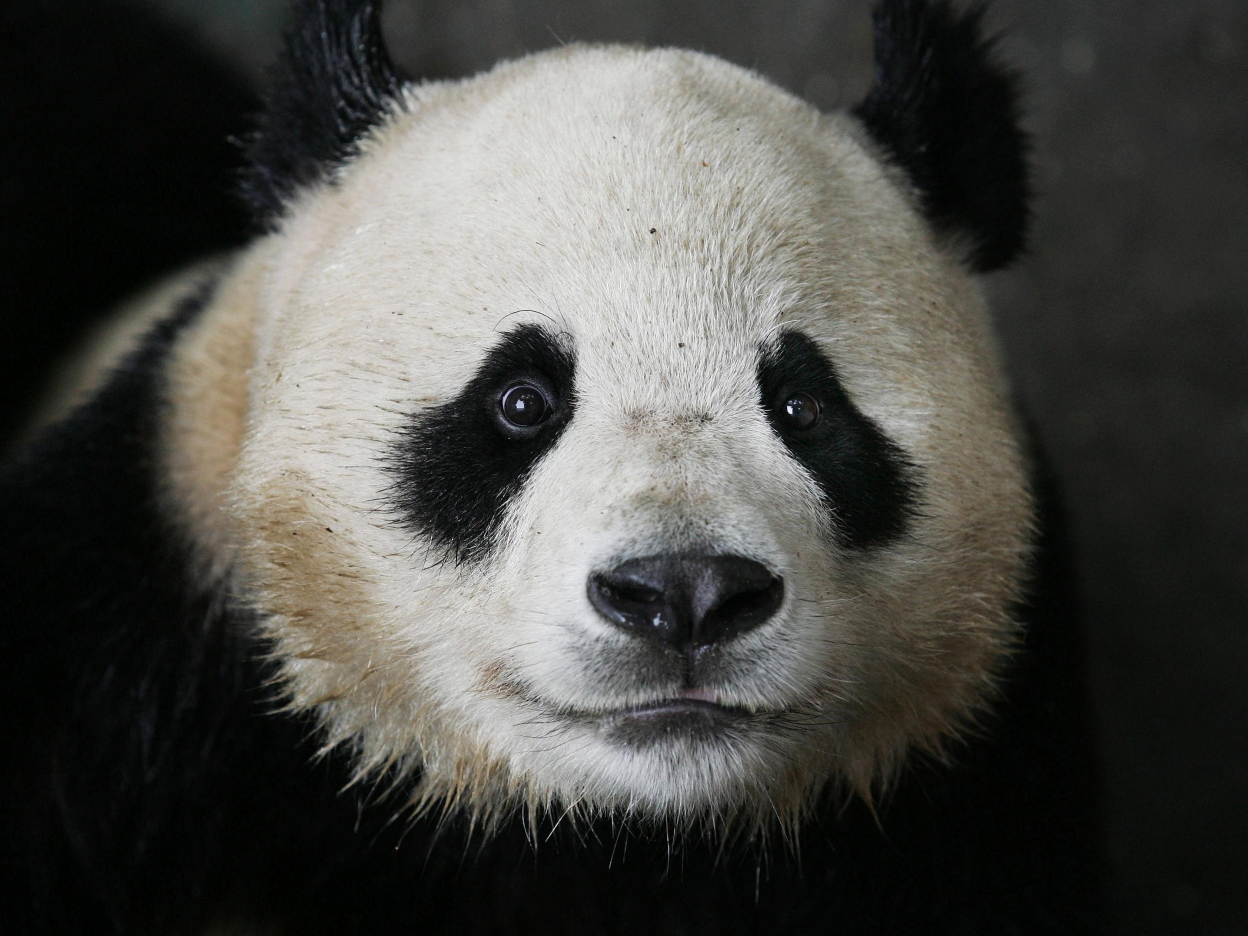 Panda Background images