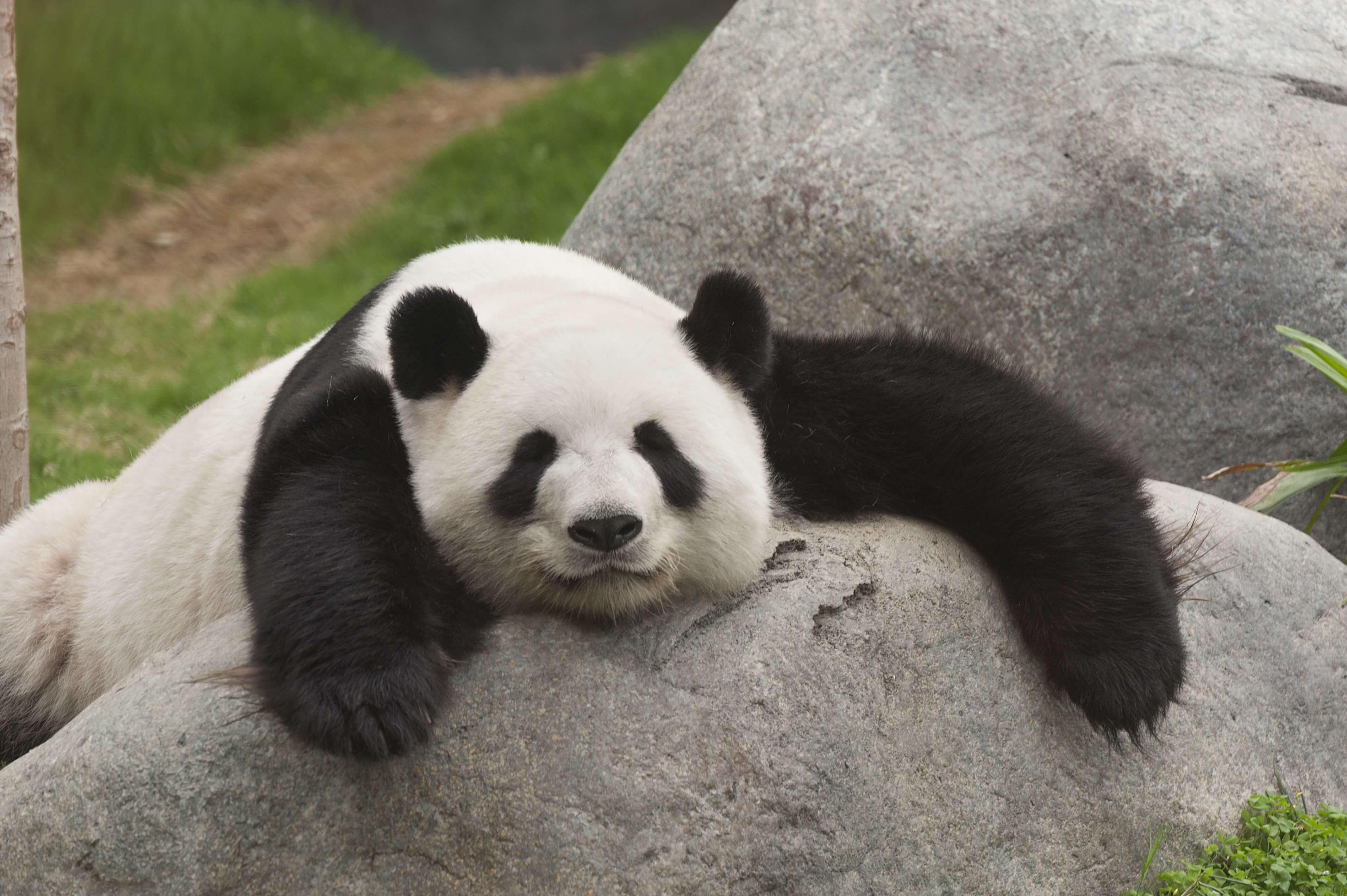 Panda High Quality