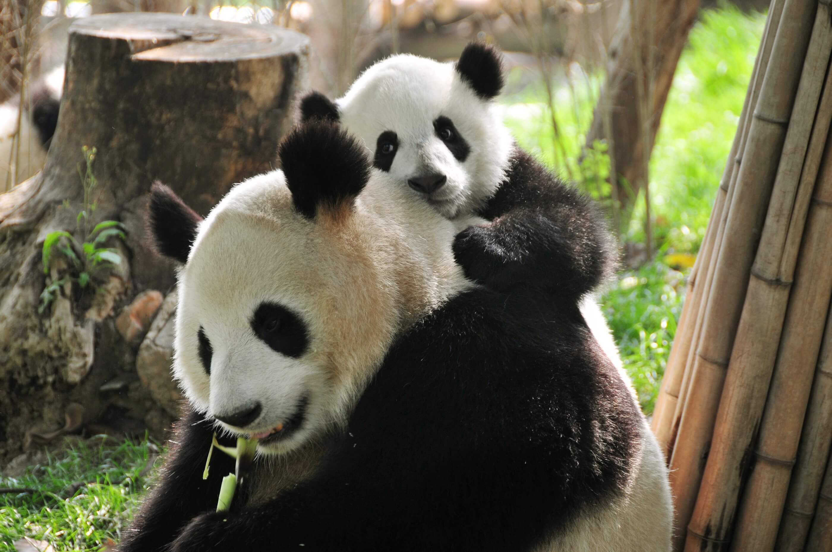 Panda Pics