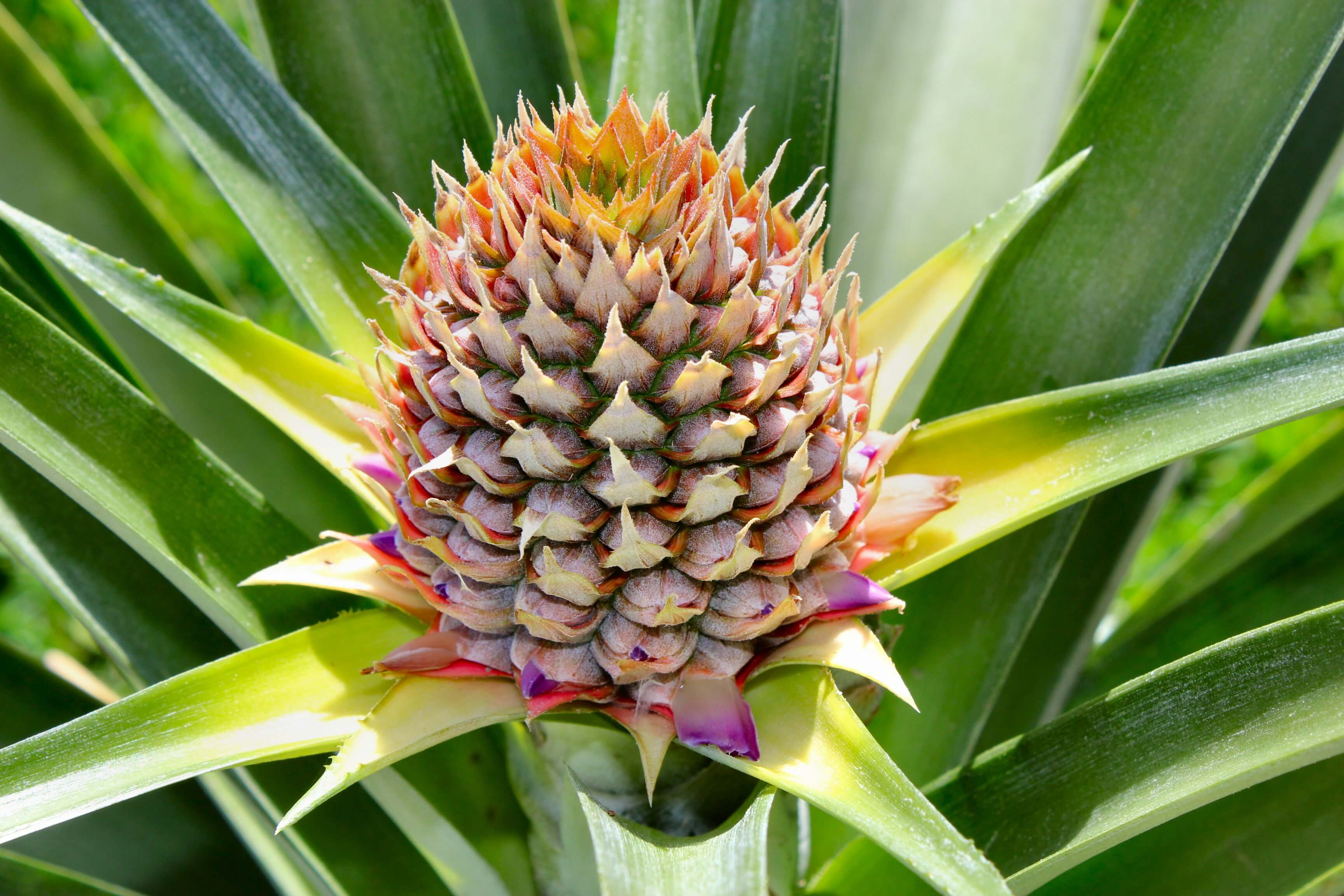 Pineapple High Definition Photos
