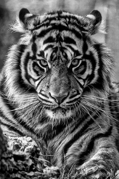 Tiger Mobile Wallpapers 2