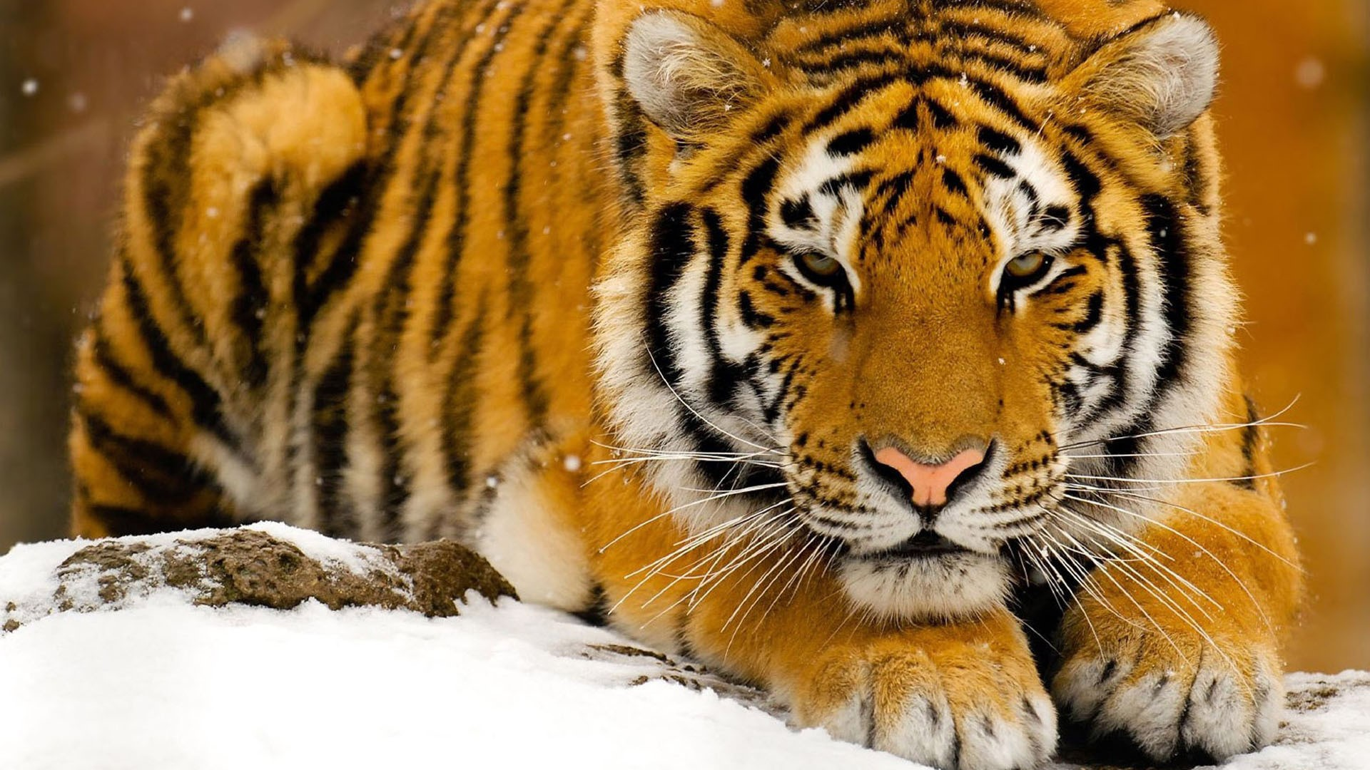 Tiger Wallpapers 4