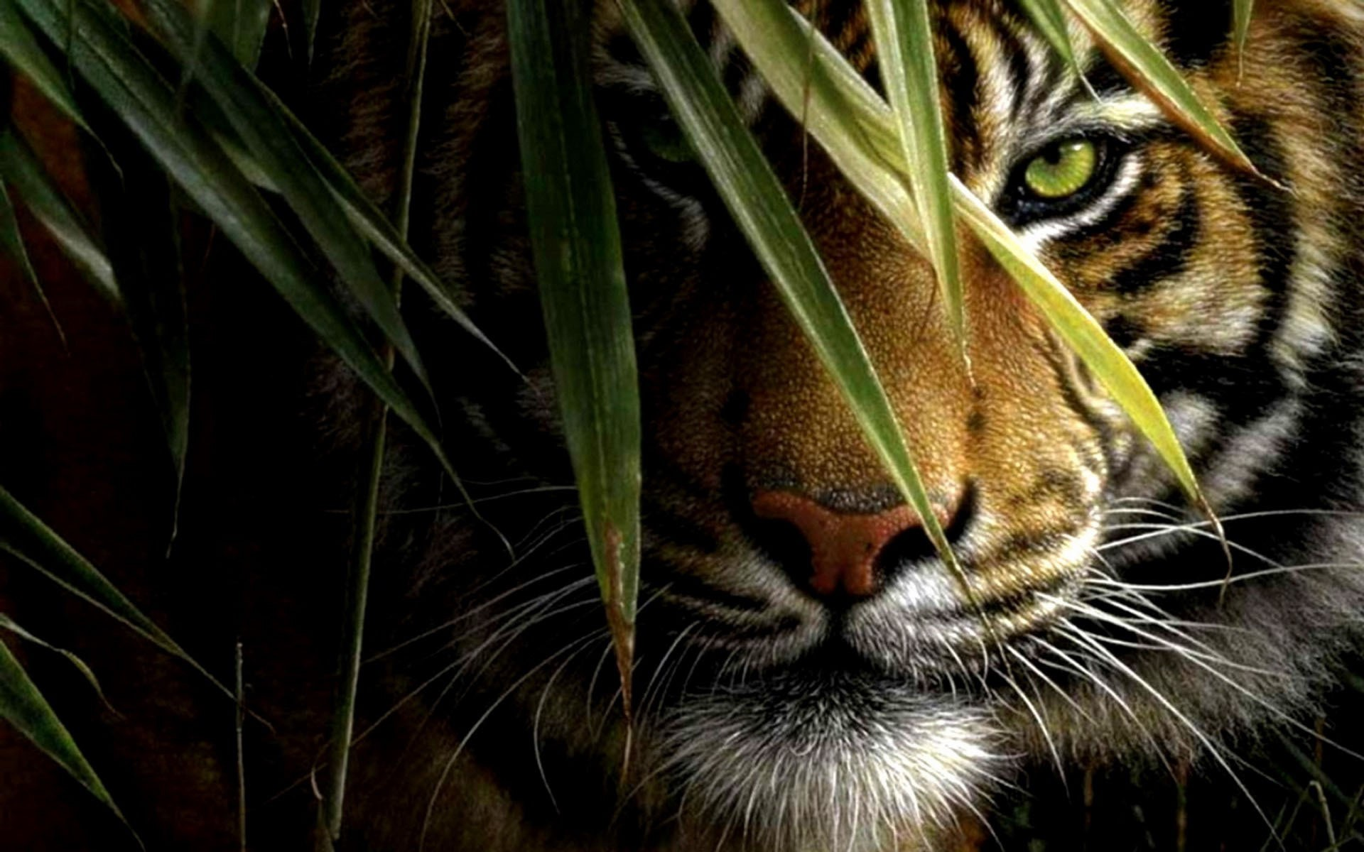 Tiger Wallpapers 5