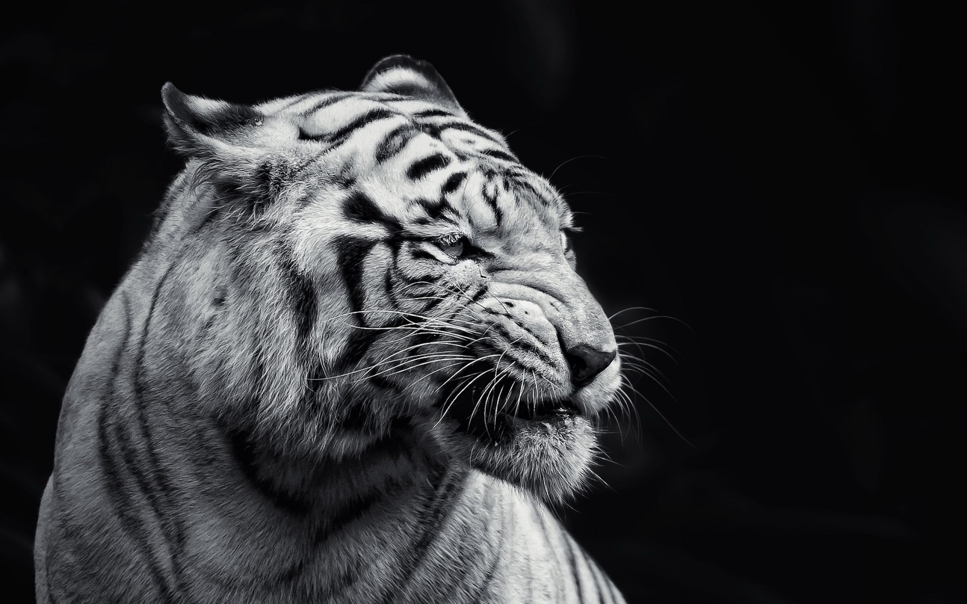Tiger Wallpapers for Laptop