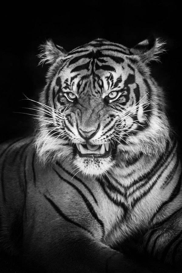 Tiger Wallpapers for iphone