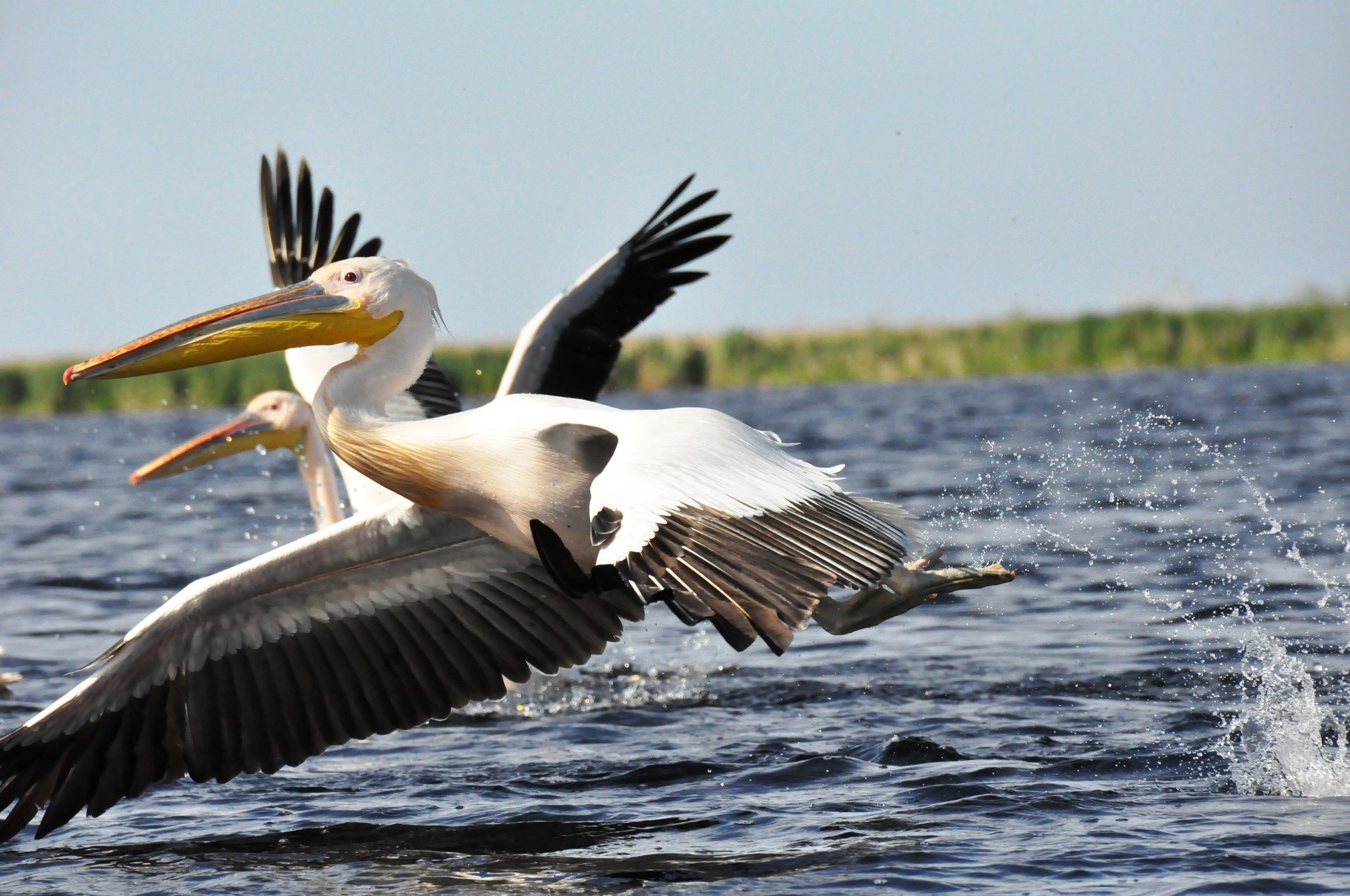 Pelican Background images