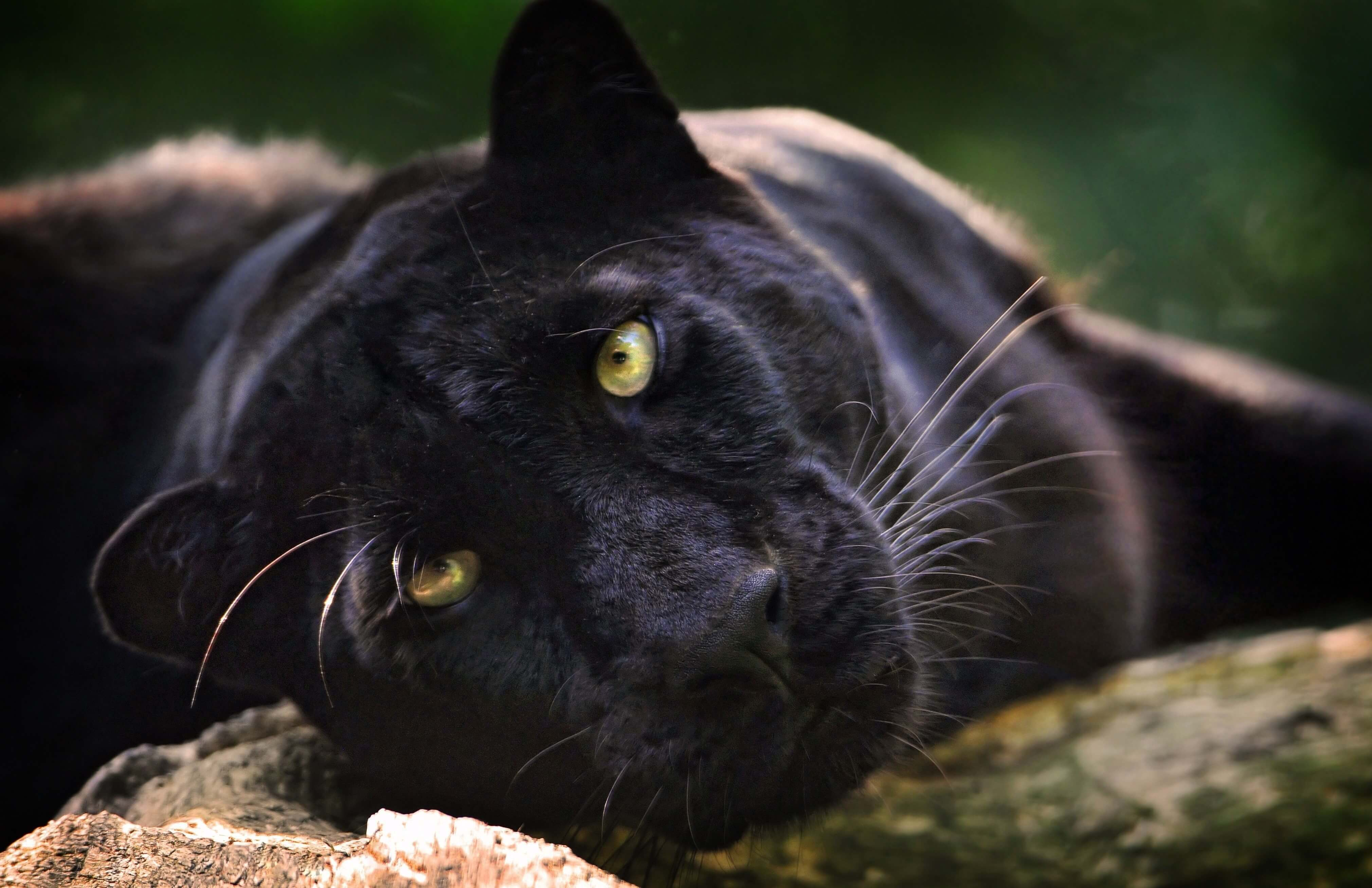 Pictures of Panther