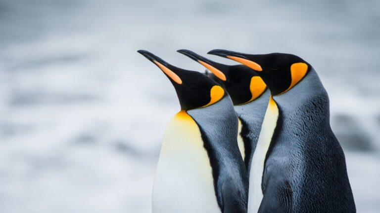 Pictures of Penguin