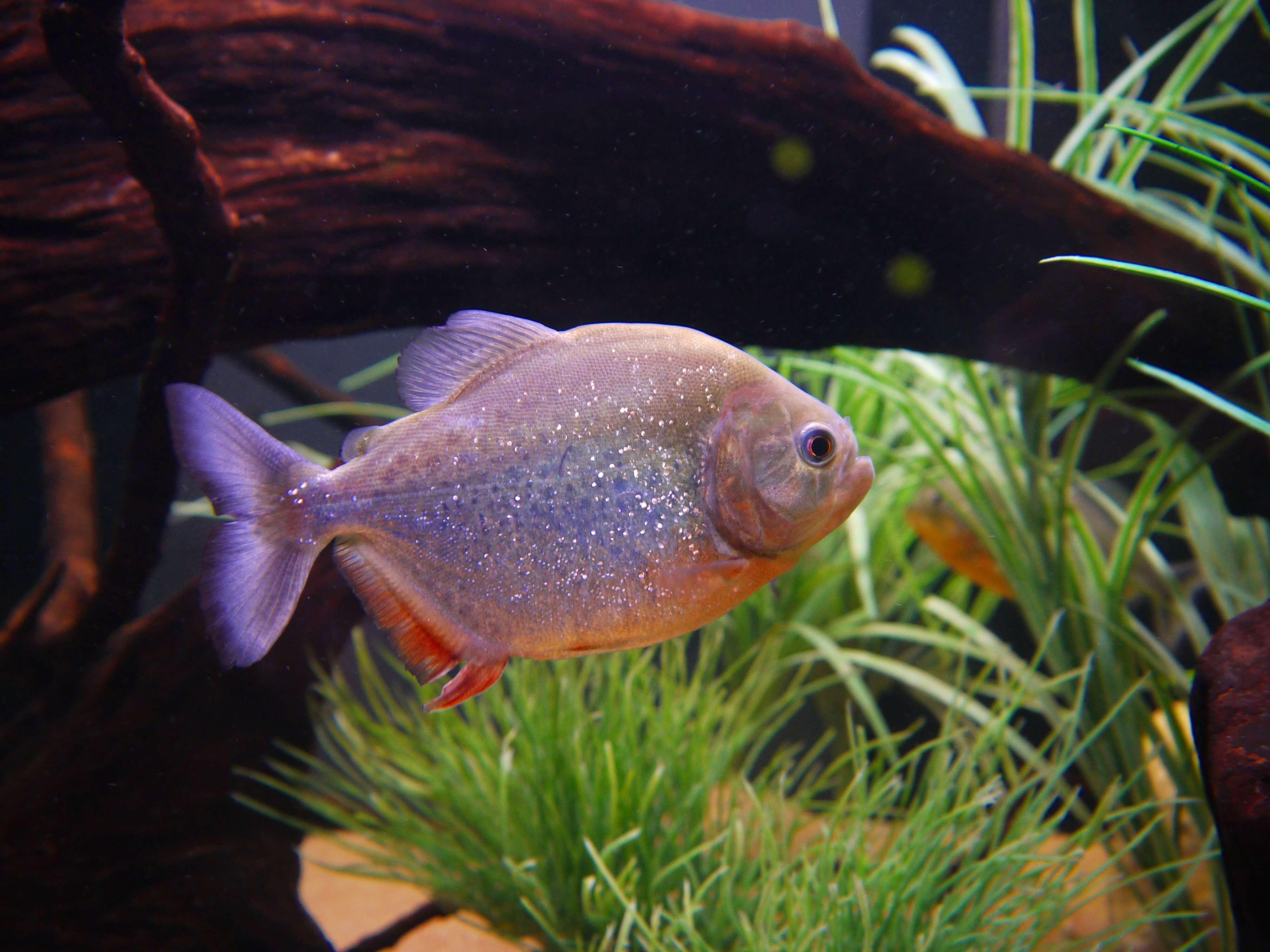 Piranha High Definition
