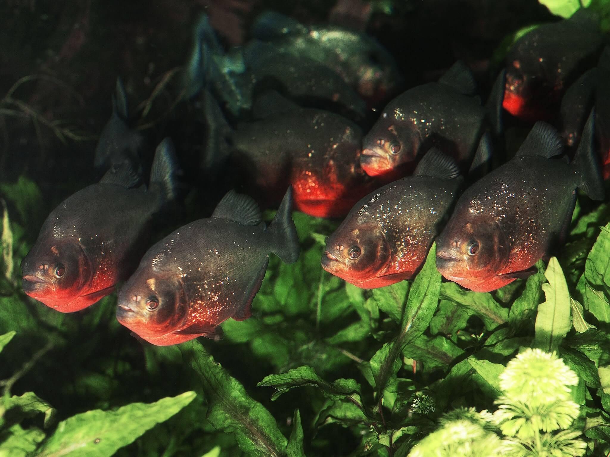 Piranha images