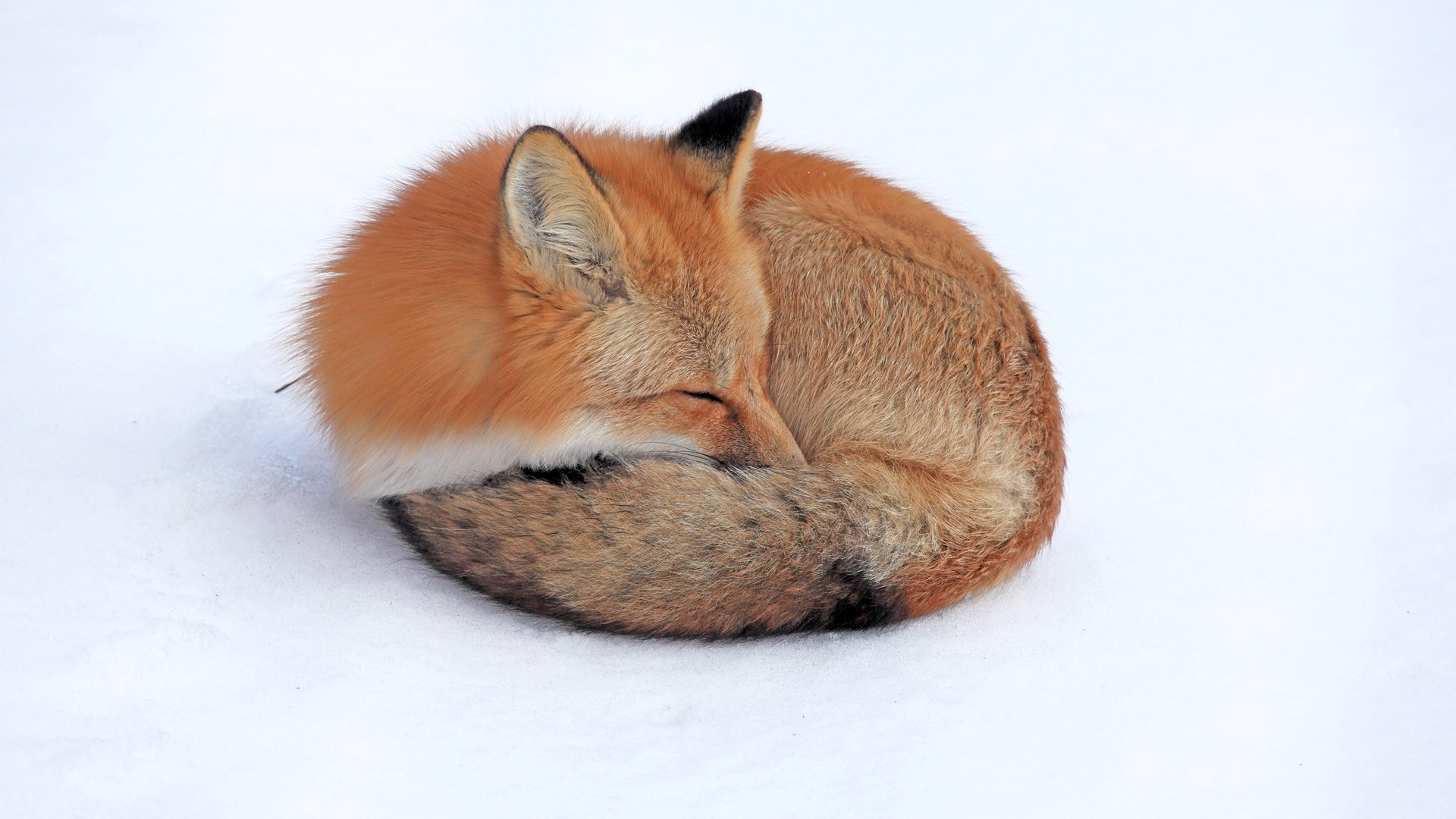 Fox Laptop Wallpapers