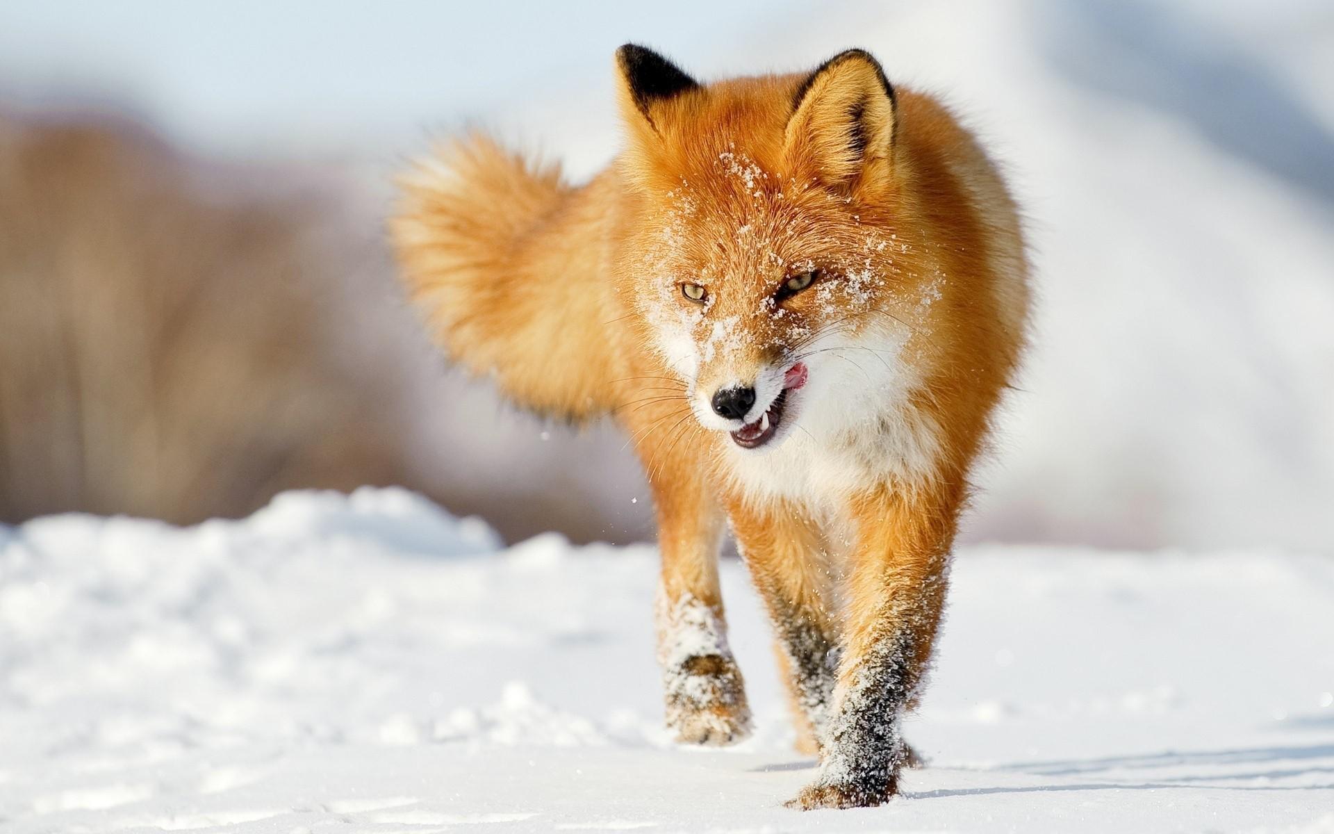 Fox Wallpapers 2
