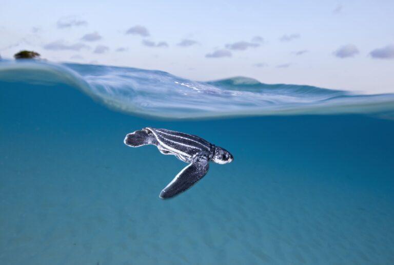 Sea Turtle Desktop