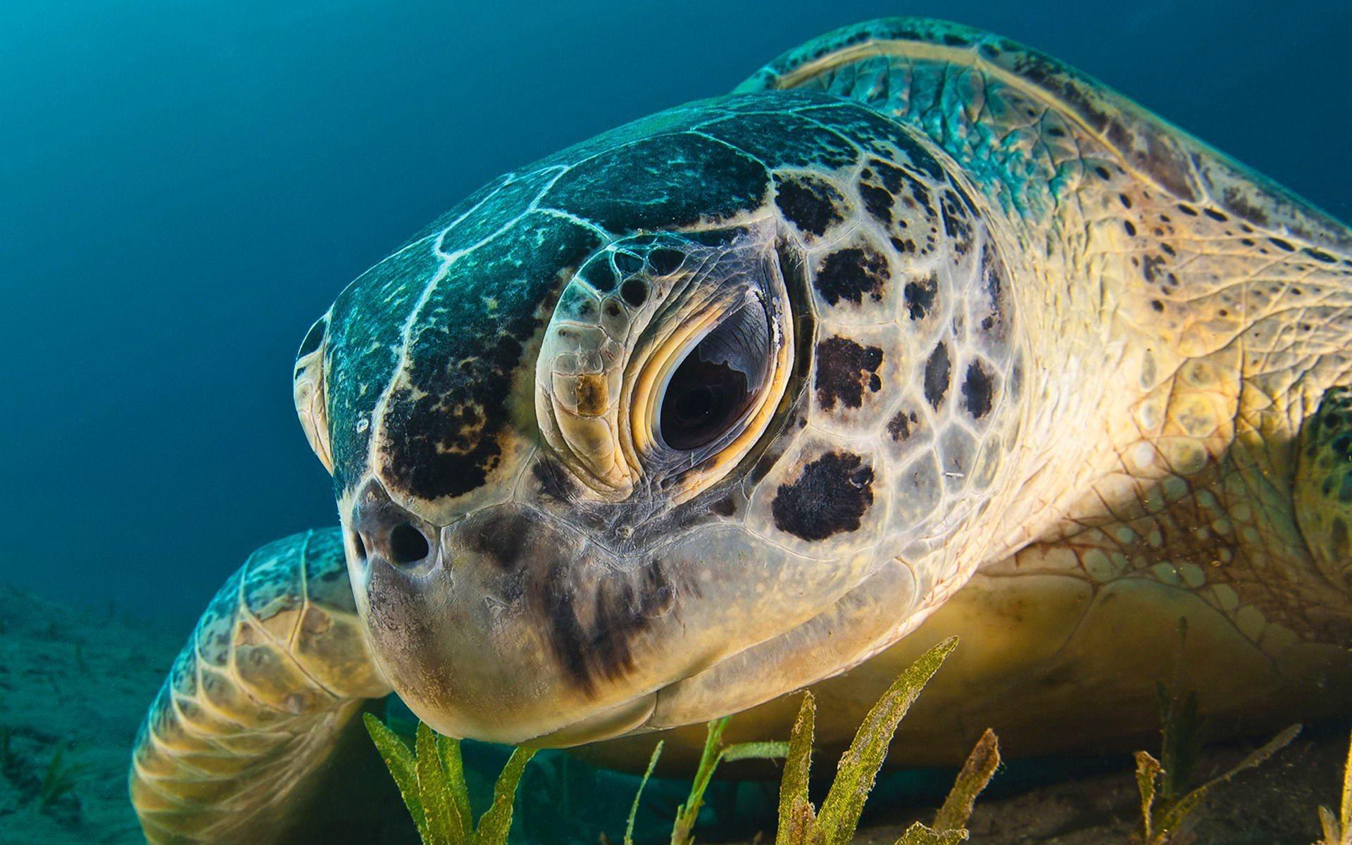 Sea Turtle Laptop Wallpapers