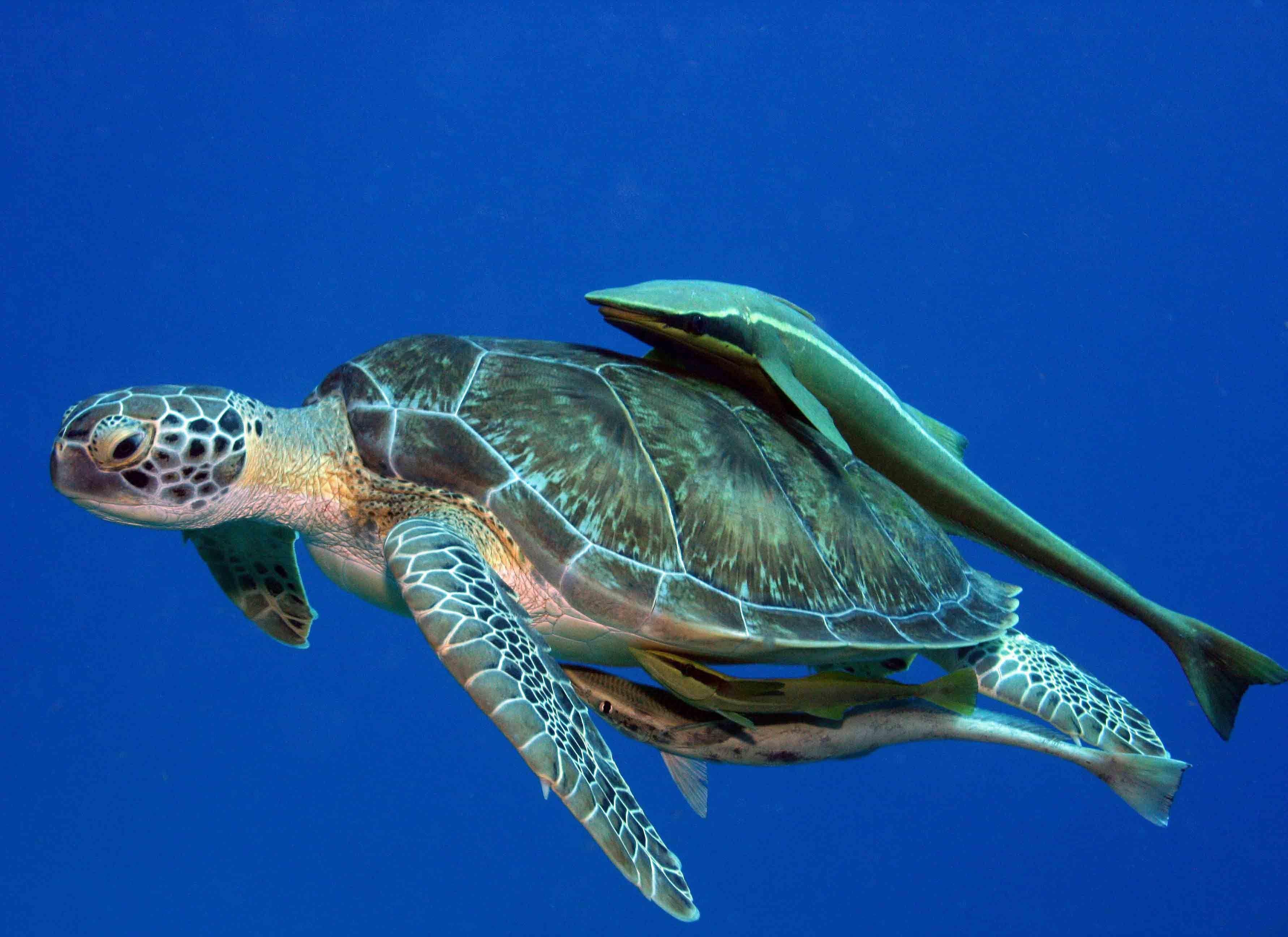 Sea Turtle Pics