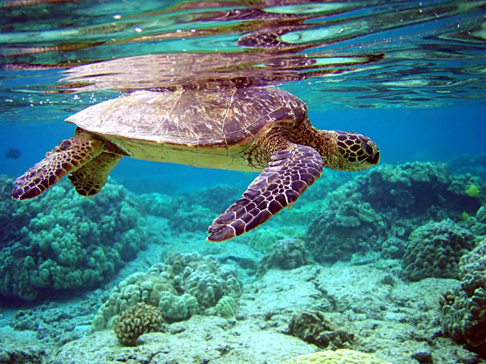 Sea Turtle Wallpapers 2