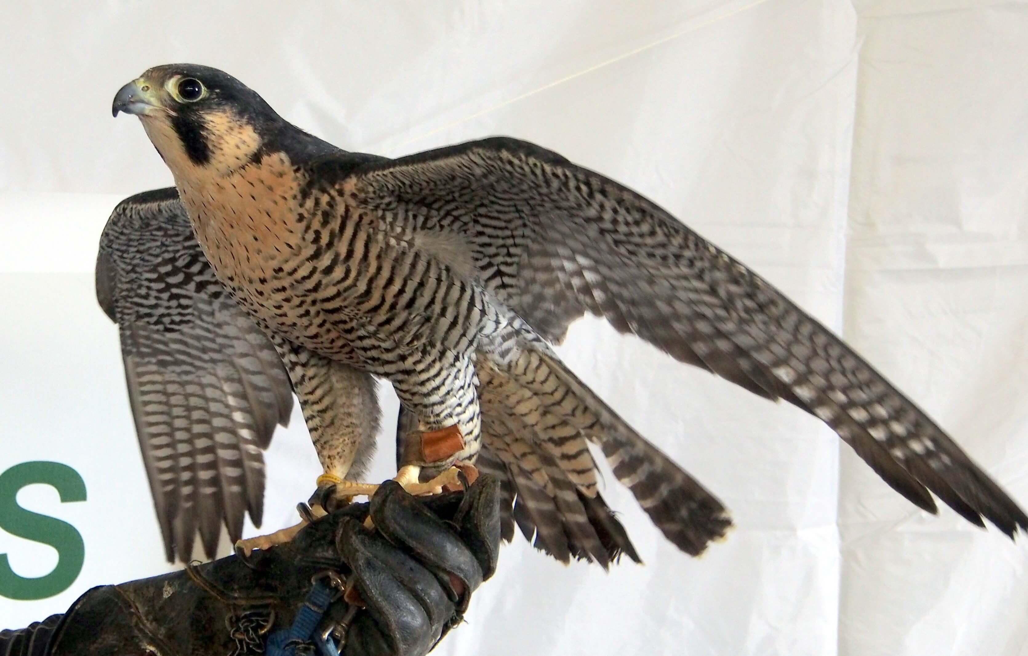 Falcon Pics
