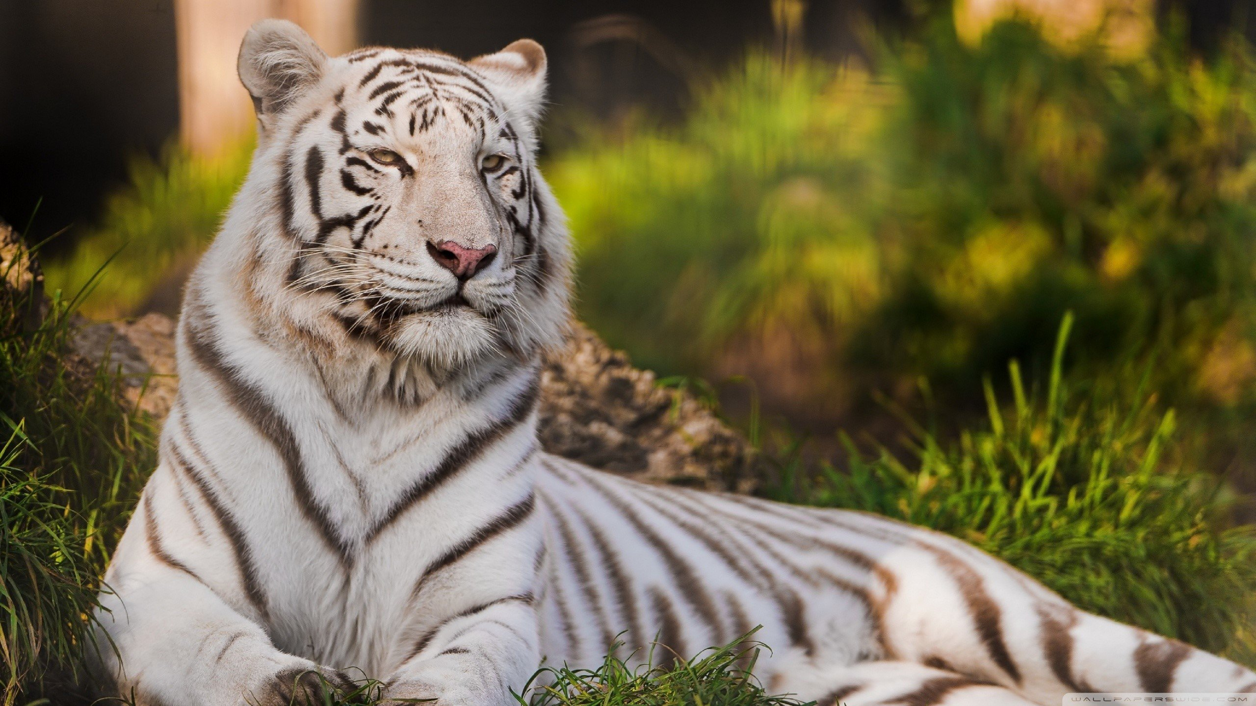 White Tiger Computer Wallpapers