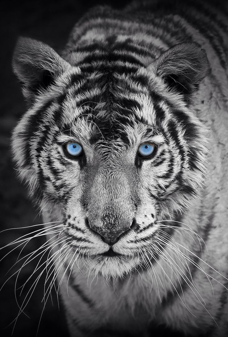 White Tiger Mobile Wallpapers