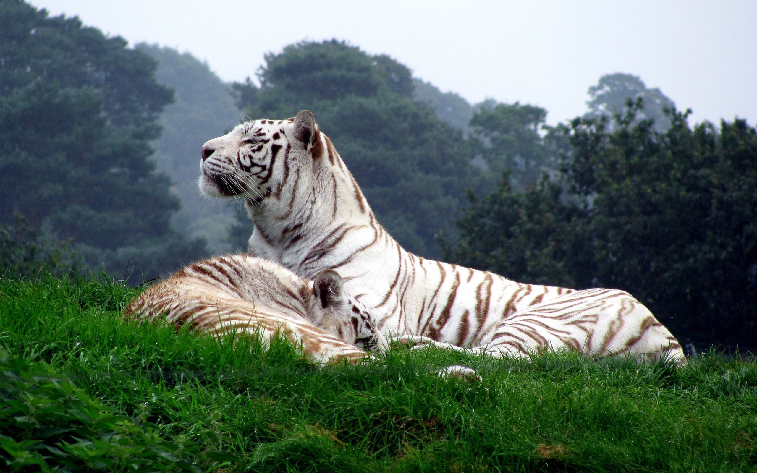 White Tiger Wallpapers 10