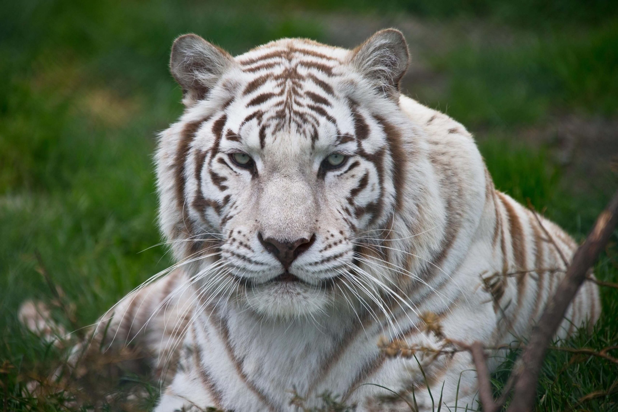 White Tiger Wallpapers 2 scaled