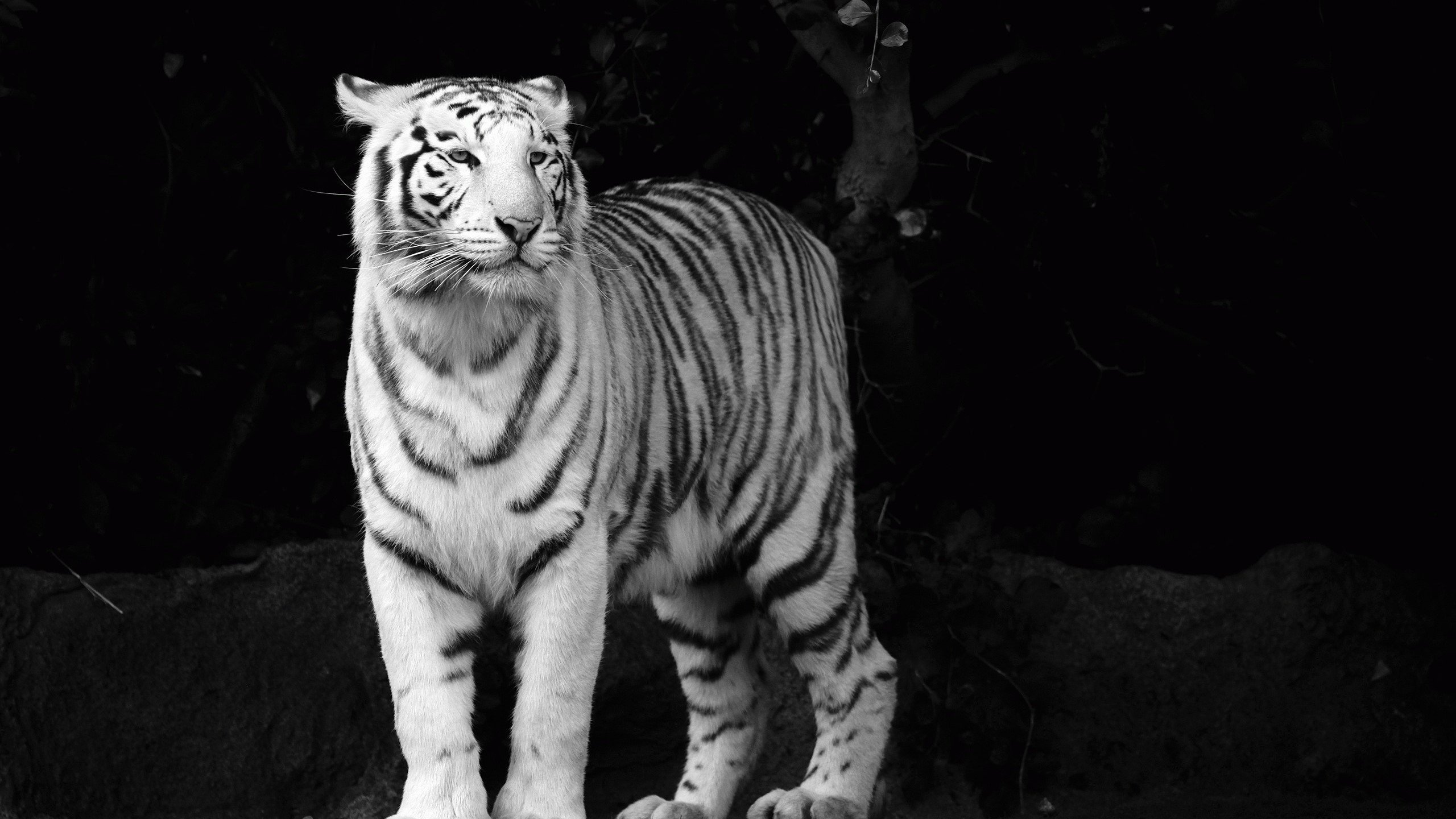 White Tiger Wallpapers 3