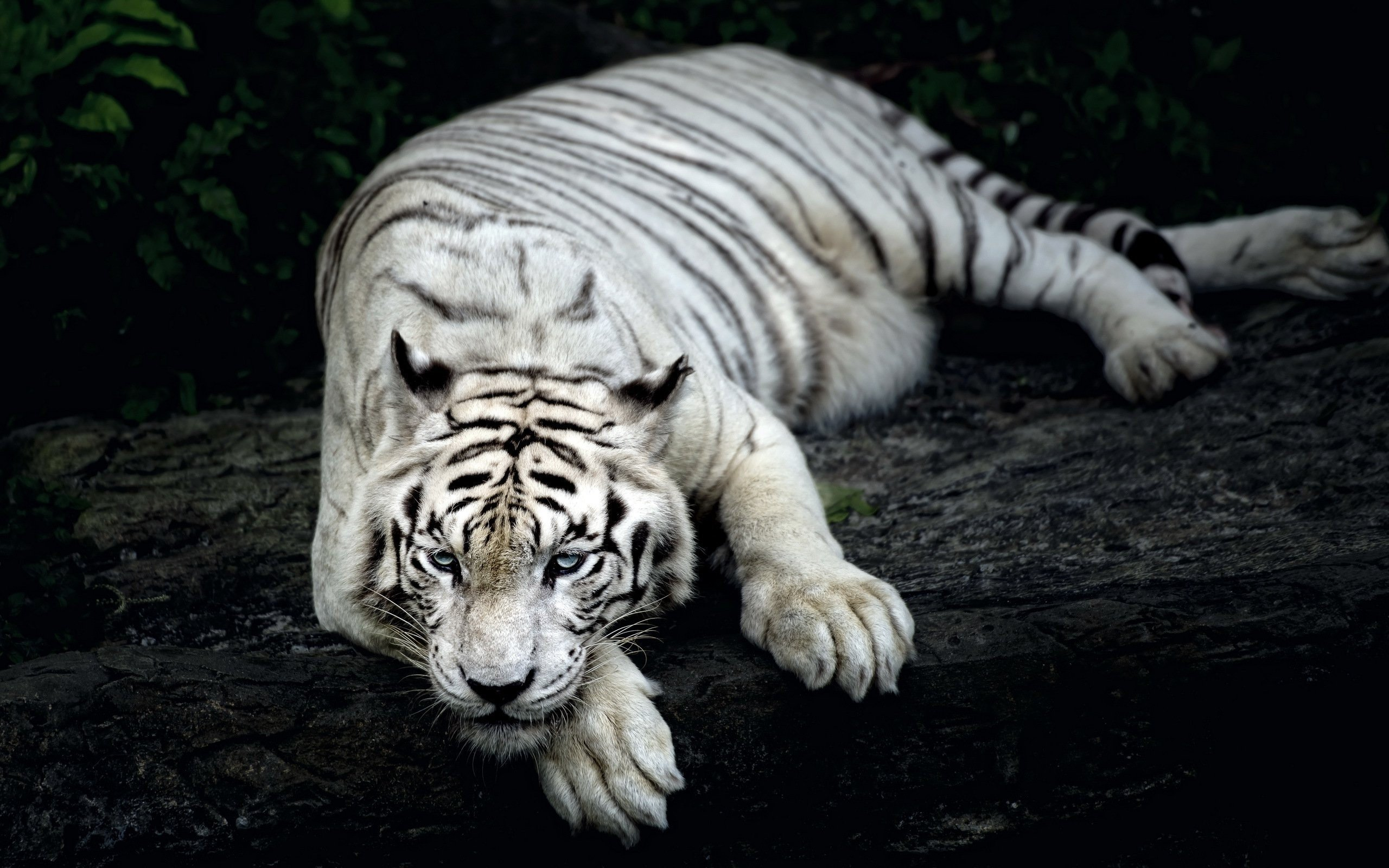 White Tiger Wallpapers 5