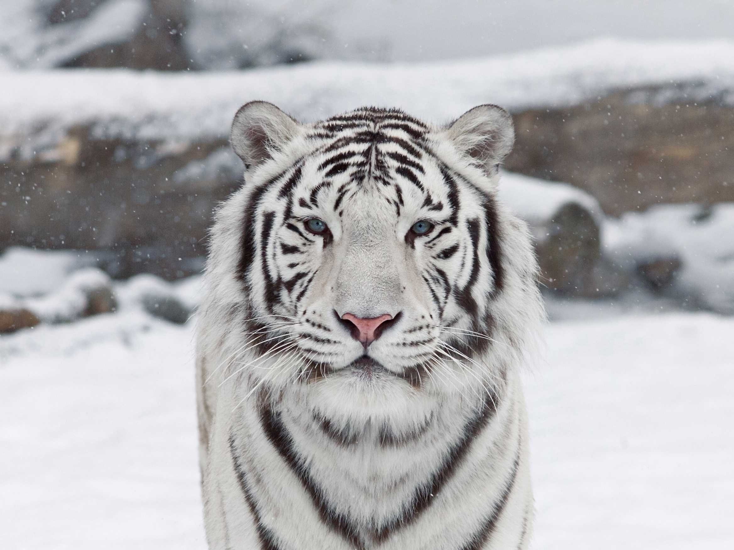 White Tiger Wallpapers 7