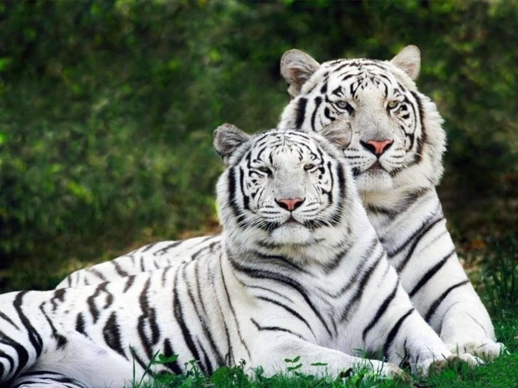 White Tiger Wallpapers 8