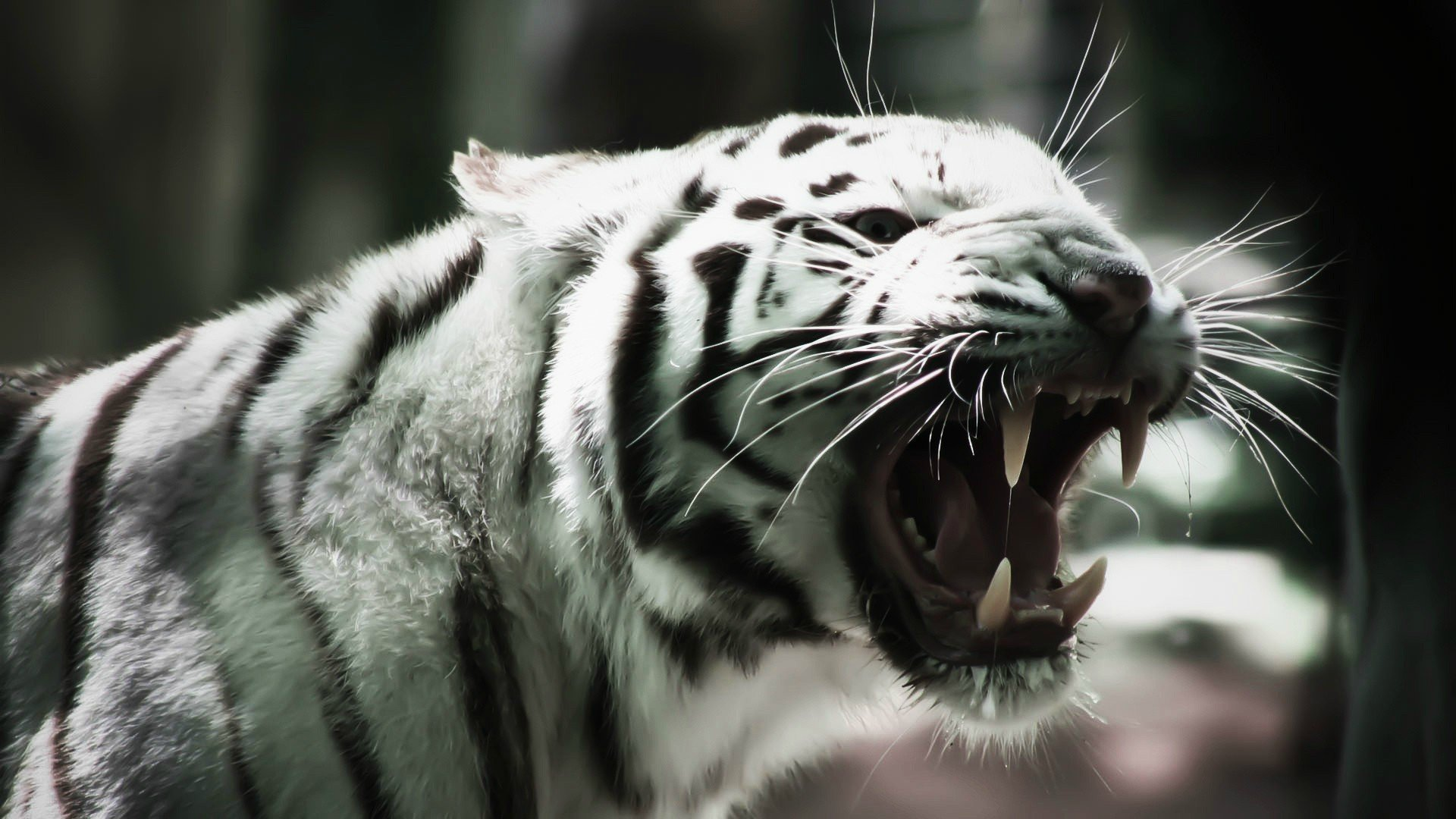 White Tiger Wallpapers 9