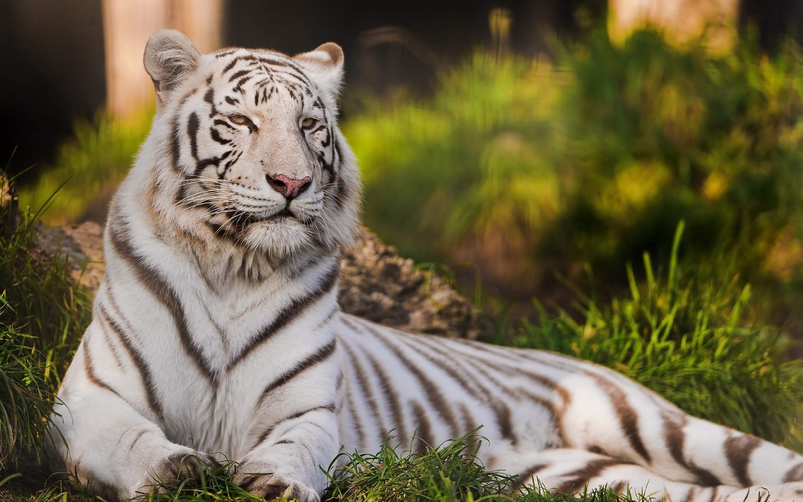 White Tiger Wallpapers for Computer