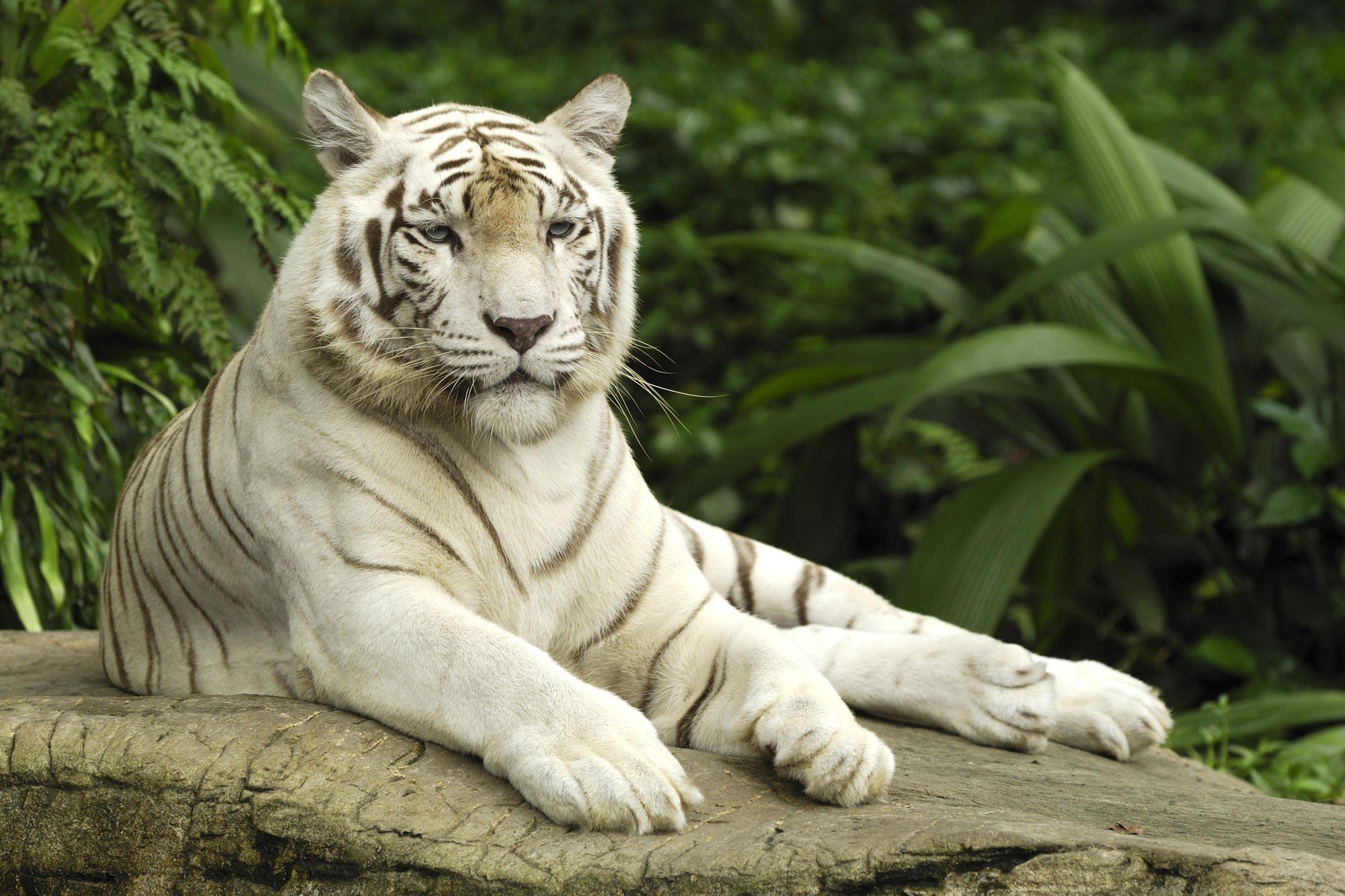 White Tiger Wallpapers for Laptop