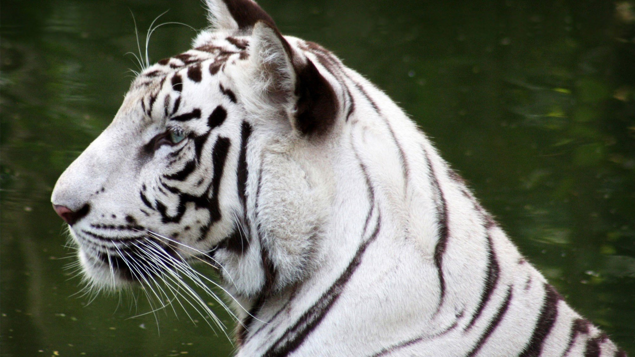 White Tiger Wallpapers for Windows