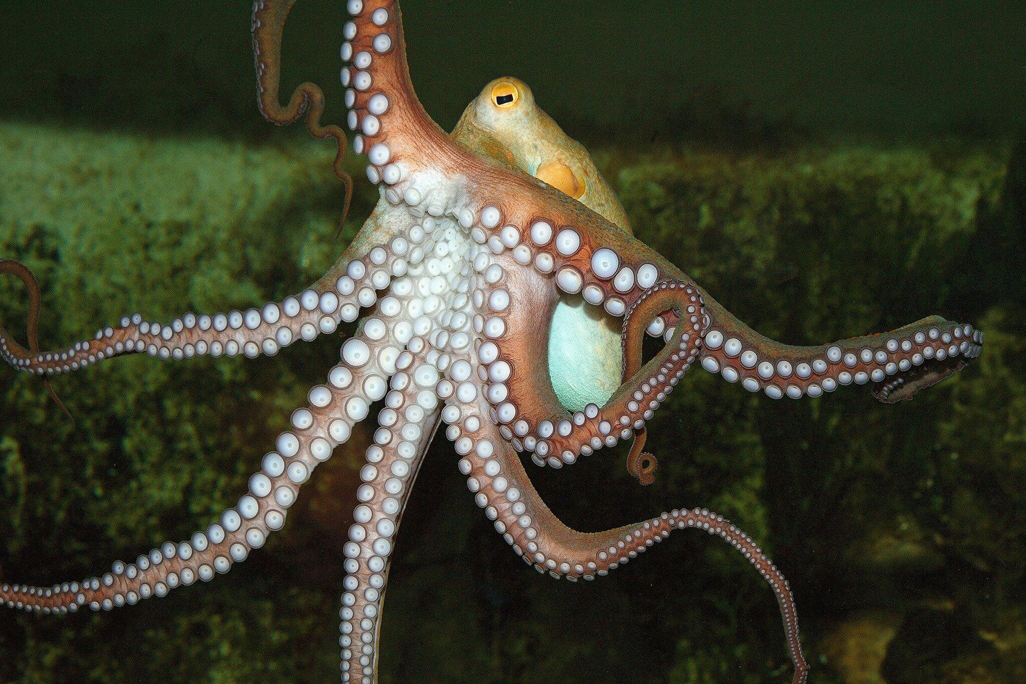 Octopus 04