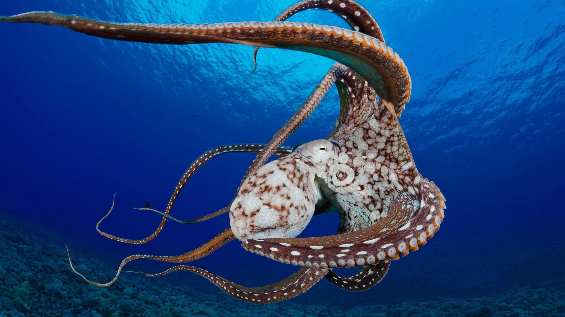 Octopus Background images