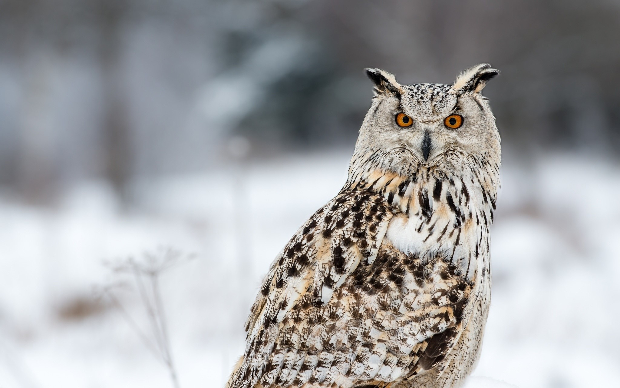 Owl 06