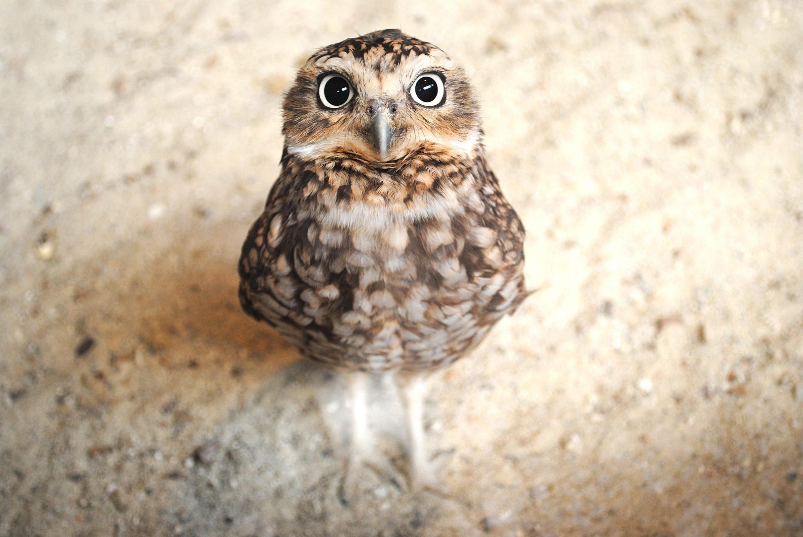 Owl Desktop scaled