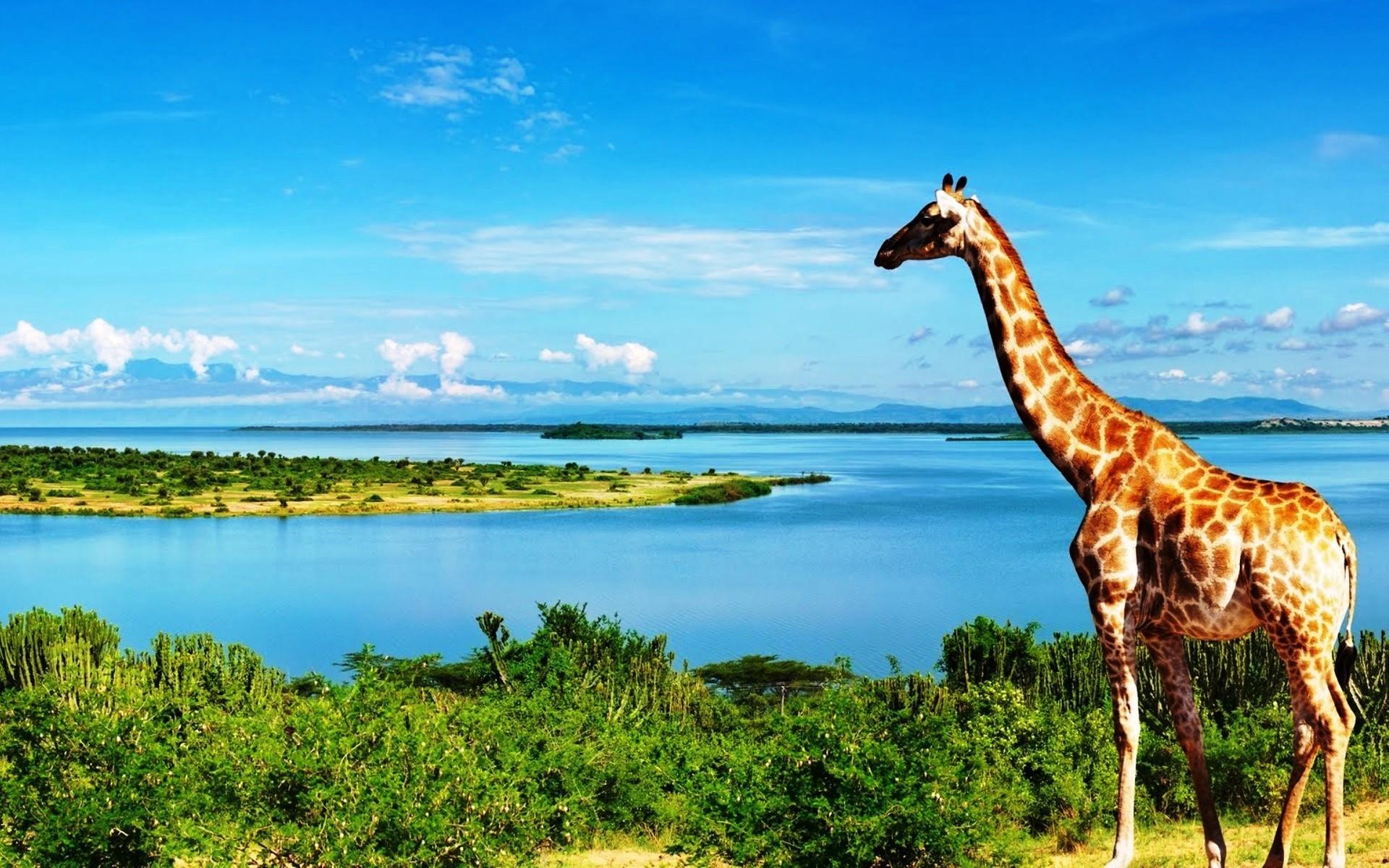 Giraffe 13