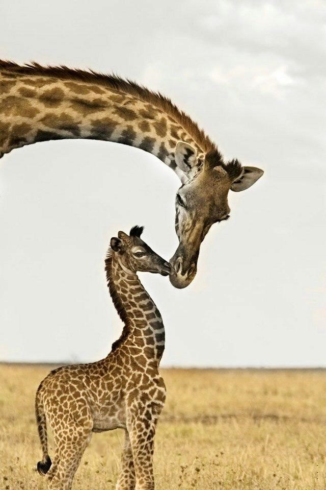 Giraffe 18