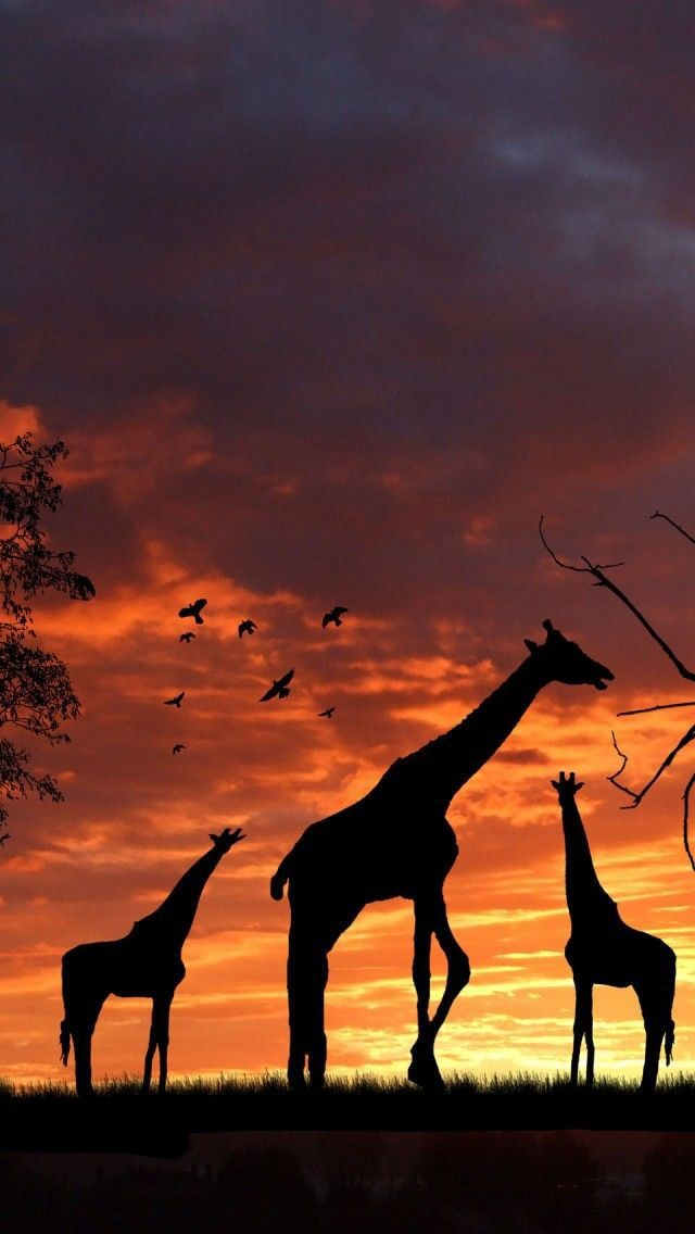 Giraffe Android Wallpapers 2